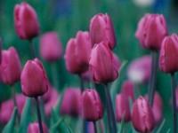 Tulip Crazy